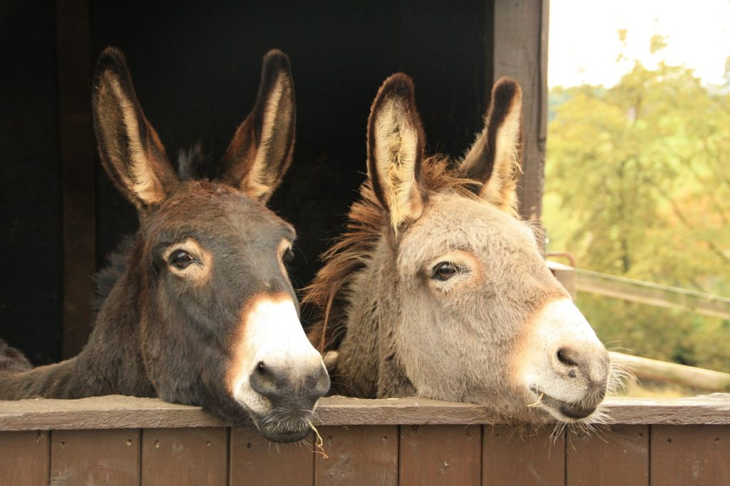 burrolandia, santuario mexicano, burros, animales en peligro, burros animales en peligro de extincion