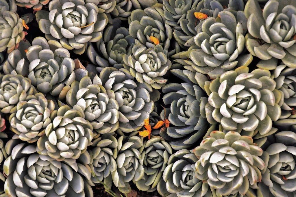 Suculentas, plantas suculentas, suculentas plantas, suculentas tipos, suculentas cuidados, suculentas en maceta