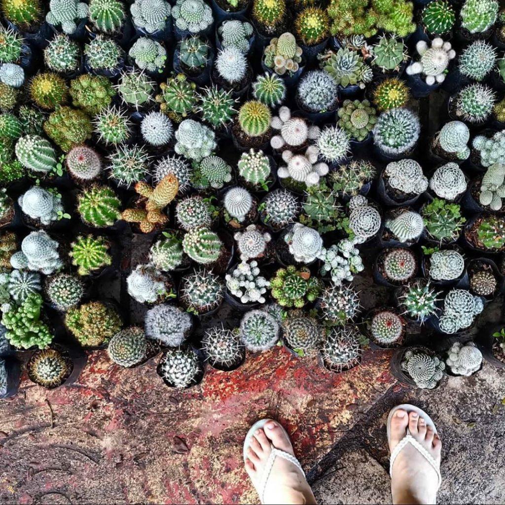 Suculentas, plantas suculentas, suculentas plantas, suculentas tipos, suculentas cuidados, suculentas en maceta, lady suculenta plantas
